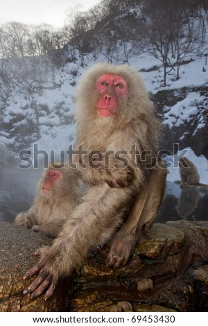 A Japanese Snow Monkey rests on the warm rocks at a hot spring. Another can be seen in the water just behind and a third in the background.