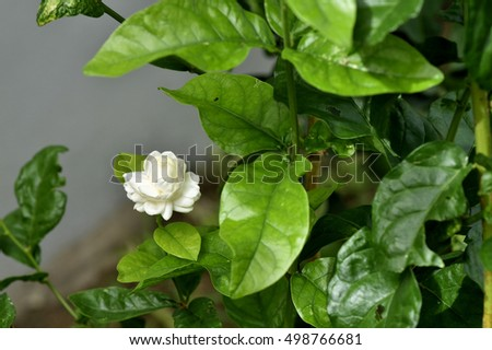 A jasmine shrub with blooming white and fragrant flower ez canvas a jasmine shrub with blooming white and fragrant flower mightylinksfo