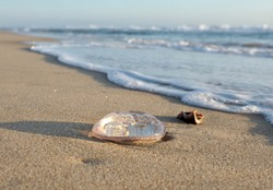 A jellyfish on the beach lit by morning sun