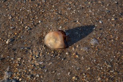 A jellyfish washed up on a shoreline.  Marine invertebrate laying on a bed of brown sand and crushed seashells.