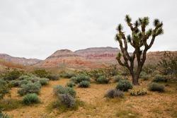 A Joshua tree in a bushy desert on a gloomy day in Utah