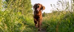 A joyful dog runs along a path surrounded by grass. Irish Red Setter Dog. Photo panorama