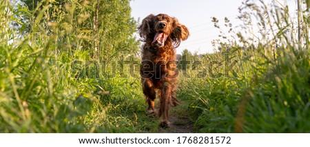 A joyful dog runs along a path surrounded by grass. Irish Red Setter Dog. Photo panorama Foto stock ©