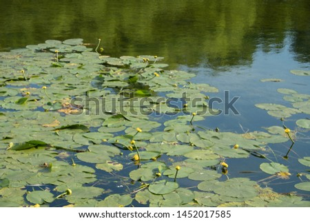 A jug of yellow, water lily, or nymph, on the pond. A popular decoration of artificial ponds and ponds in garden design. Summer, sunny day. #1452017585