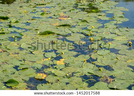 A jug of yellow, water lily, or nymph, on the pond. A popular decoration of artificial ponds and ponds in garden design. Summer, sunny day. #1452017588