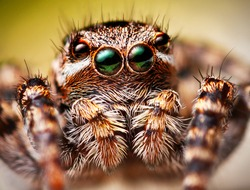 a jumping spider