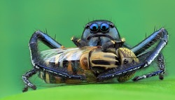 a jumping spider with a meal