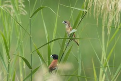A juvenile and adult Chestnut Munia in the grass