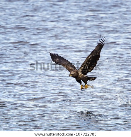 A juvenile Bald Eagle with a freshly caught fish in his talons right after catching the fish out of the river.