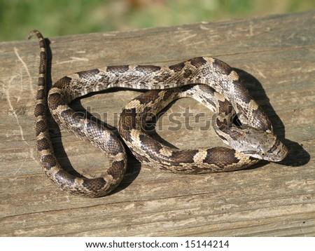 A Juvenile black rat snake basks in the sun.