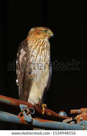 A juvenile Cooper's Hawk poses for pictures, as seen in the complete wilds in Missouri, USA.  With captivating composure, this beautiful raptor represents power, focus and extremely good eyesight.