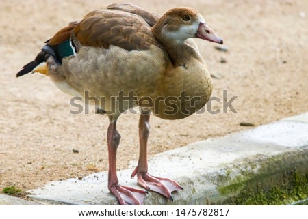 a Juvenile Egyptian goose stands alone.  Juveniles do not have the brown eye patches or a patch on the chest.  #1475782817