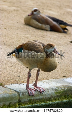 a Juvenile Egyptian goose stands alone.  Juveniles do not have the brown eye patches or a patch on the chest.  There is one adult as bokeh background #1475782820