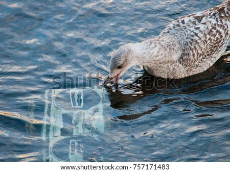A juvenile gull pecking at a submerged stereo #757171483