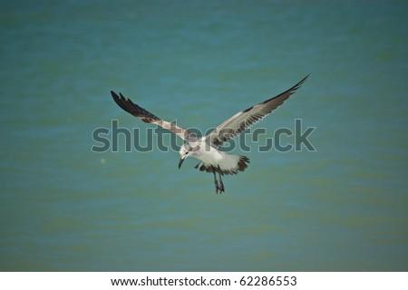 A juvenile laughing gull flies at the edge of a Gulf Coast Florida beach.