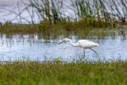 A juvenile Little Blue Heron (Egretta caerulea) hunting for food on a Florida lakeshore.