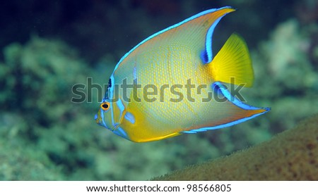 A Juvenile Queen Angelfish swimming over a reef.