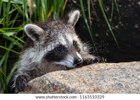 A juvenile raccoon peeking out from behind a large rock. This picture is outside in full sun with long dark grass behind the animal.
