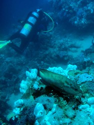 a juvenile red snapper fish and scubadiver