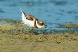 A juvenile Semipalmated Plover is chirping while running on the beach. Presqu'ile Provincial Park, Brighton, Ontario, Canada.