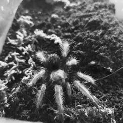 A juvenile tarantula in black and white
