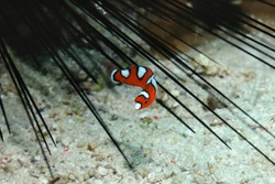 A juvenile yellow-tail wrasse is hiding among the needles of the sea urchin, Danao, Panglao, Philippines