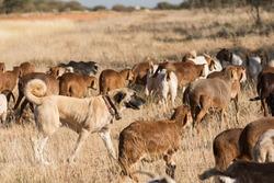 A Kangal livestock guarding dog roams in between a herd of Damara fat-tailed sheep, Namibia, June