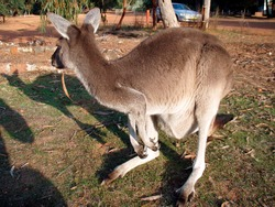 a kangaroo a marsupial land animal, wildlife on the australian continent
