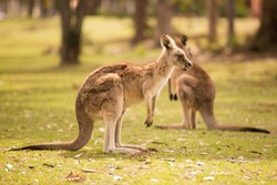 a kangaroo at Australian wildlife outdoor with a background of kangaroos. a beautiful nature wildlife portrait with a cute wild animal or mammal