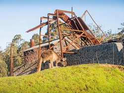 A kangaroo in front of an old, abandoned sawmill in Donnelly River in Western Australia.