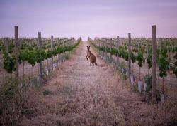 A Kangaroo in the Barossa Valley
