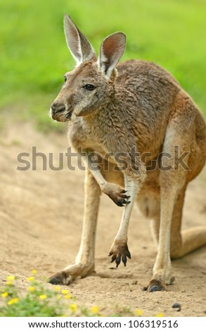 A kangaroo is in a natural habitat