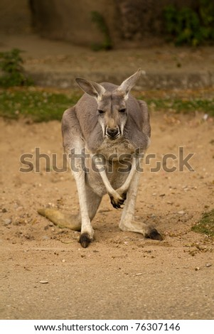 A Kangaroo pauses in the sand to look around