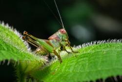 A katydids  resting on a green leaf