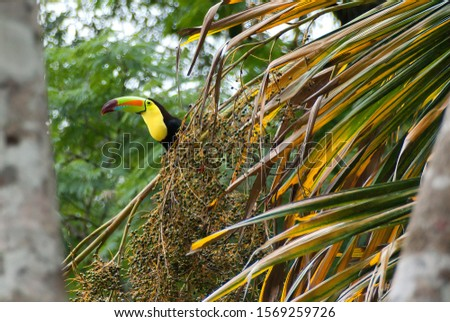 A Keel-billed Toucan feasts on palm fruit in a central american jungle