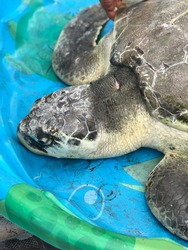 A Kemp's Ridley sea turtle ready to be released after rehab. Taken at Alligator Point in North Florida.