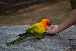 A kid is feeding sunflower seeds to a sun conure parrot from her hand in the zoo.