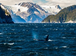 A killer whale breaches and blows a spout of fishy breath benath the high mountain glaciers of Northwestern Fjord in the Kenai Fjords National Park