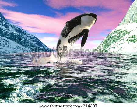 A killer whale leaps joyfully