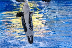 A killer whale, Orcinus Orca, jumps in the water.