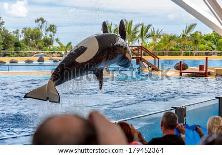 A killer whale performing a pirouette during a water show.