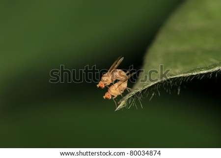 a kind of diptera insects