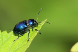a kind of insects named beetle