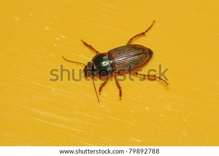 a kind of insects named carabidae - stock photo