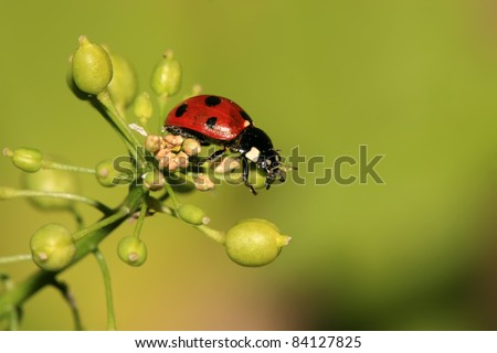 a kind of insects named ladybug