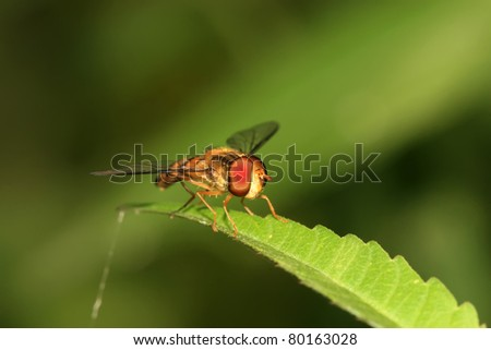 a kind of insects named syrphidae
