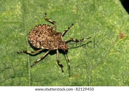 a kind of insects stinkbug