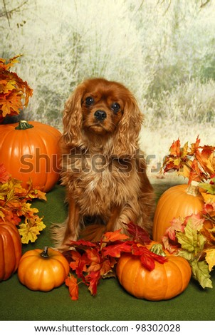 A King Charles Spaniel Dog Sits in an Autumn Scene with Pumpkins and fall leaves