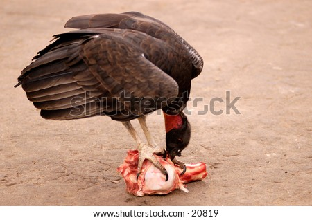 A King Vulture eating a meal.