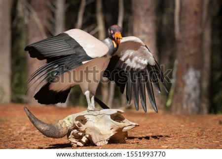 A King Vulture Perched on a Skull #1551993770